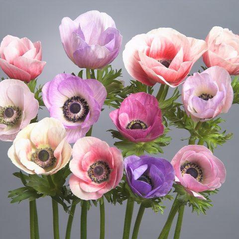 galilee anemone
